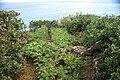 Terrenos de cultivo de vinhas pertencente a João dos Santos Bettencourt, Fajã do Meio, Velas, ilha de São Jorge.JPG