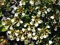 Teucrium montanum 1.jpg