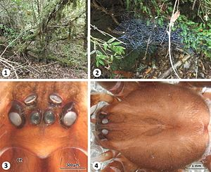 Thaida chepu male, habitat and prosoma morphology.jpg