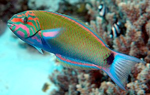 A Lyretail Wrasse