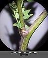 Thalictrum minus subsp. minus sl4.jpg