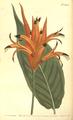 The Botanical Magazine, Plate 502 (Volume 14, 1800).png