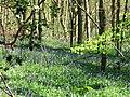 The First Flush of Bluebells in Tatnall's Wood - geograph.org.uk - 1263156.jpg