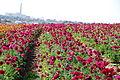 The Flower Fields at Carlsbad Ranch 82 2014-04-28.jpg