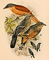 The birds of Celebes and the neighbouring islands - XXII.jpg