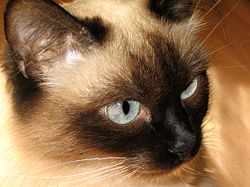 Gatto Siamese a pelo semilungo in varietà colourpoint.