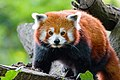 The red panda (Ailurus fulgens) 1.jpg