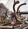 The reindeer in Nordkapp - panoramio.jpg
