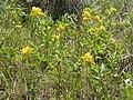Thermopsis rhombifolia (4017950299).jpg