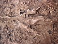 Theropod dinosaur footprint in sandstone (Kayenta Formation or Navajo Sandstone, Lower Jurassic; Potash-Poison Spider dinosaur tracksite, Williams Bottom, west of Moab, Utah, USA) 20 (32809031040).jpg