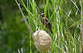 Thick-billed Weaver (Amblyospiza albifrons) and nest (16305554838).jpg
