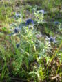 Thistle, Croatia 1.JPG