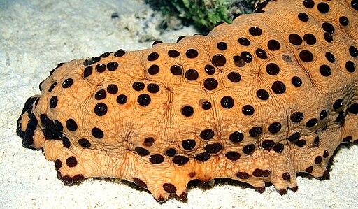 Three-Rowed Sea Cucumber