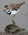Three-banded Plover (or Three-banded Sandplover), Charadrius tricollaris, at Marievale Nature Reserve, Gautent, South Africa (30359225424).jpg