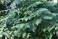 Thuja plicata in Botanical garden, Minsk 02.JPG