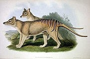 Thylacinus_cynocephalus_2_Gould.jpg