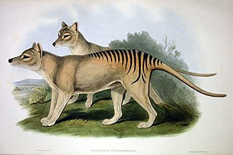 John Gould's lithographic plate from The Mammals of Australia Thylacinus cynocephalus 2 Gould.jpg