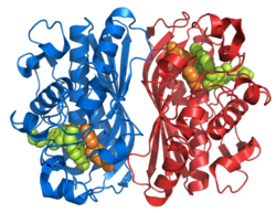 Thymidylate synthase 1HVY.png