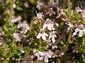 Thymus vulgaris 2020-06-06 9313.jpg
