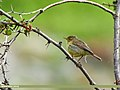 Tickell's Leaf Warbler (Phylloscopus affinis) (28954852381).jpg