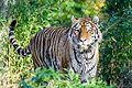 Tiger (15621794281).jpg