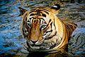 Tiger face1.jpg