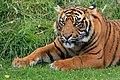 Tigre de Sumatra 2.jpg