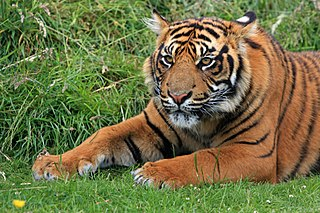 Sunda Island tiger index of animals with the same common name
