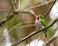 Todus multicolor -Ciego de Avila Province, Cuba-8.jpg