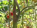 Tomaten staengel.jpg