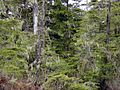 Tongass National Forest 413.jpg