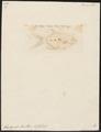 Trachynotus baillonii - 1700-1880 - Print - Iconographia Zoologica - Special Collections University of Amsterdam - UBA01 IZ13500471.tif