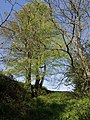 Trees near Marystow Bridge - geograph.org.uk - 431292.jpg