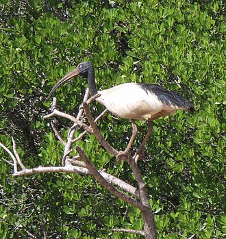 Réunion ibis - The Malagasy sacred ibis, a close living relative