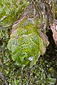Treubia lacunosa (Colenso) Prosk. (AM AK322391-3).jpg