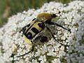 Trichius spec. (Coleoptera sp.), Arnhem, the Netherlands.jpg