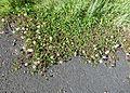 TrifoliumRepensIreland.JPG