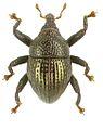 Trigonopterus aeneipennis holotype - ZooKeys-280-001-g001.jpg