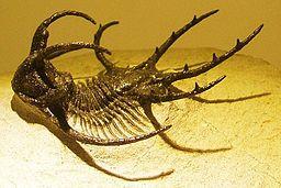 Trilobita-Ceratarges-fossil cropped