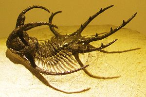 Trilobita-Ceratarges-fossil cropped.jpg