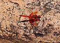 Trithemis kirbyi uhuru park 1.jpg