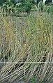 Triticum dicoccum, bruinkafemmertarwe (1).jpg