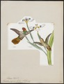 Trochilus reginae - 1820-1860 - Print - Iconographia Zoologica - Special Collections University of Amsterdam - UBA01 IZ19100439.tif