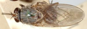 A photograph of the whole body of a tsetse illustrating the folded wings when at rest.
