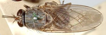 tsetse fly which transmits sleeping sickness