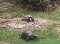 Turtles in Zoo Negara Malaysia (1).jpg