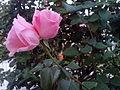 Twin Roses.jpg