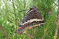 Two-tailed pasha (w. of Volimes) (35074350164).jpg