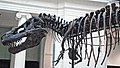 Tyrannosaurus rex (theropod dinosaur) (Hell Creek Formation, Upper Cretaceous; near Faith, South Dakota, USA) 35.jpg