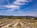 Un champ de lavande au mois d'août quelque part dans le Vaucluse.jpg